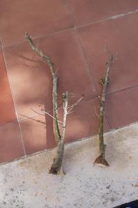 Recuperación y evolución de dos olivos yamadori (2014 - ACTUALIDAD) Th_985796546_P1080570_122_114lo